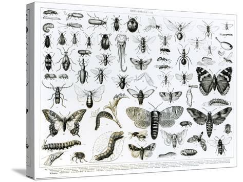 Entomology--Stretched Canvas Print