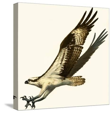 Osprey--Stretched Canvas Print