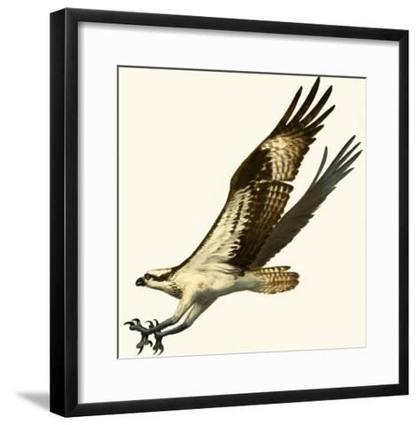 Osprey--Framed Art Print