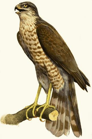 Sparrow Hawk--Stretched Canvas Print