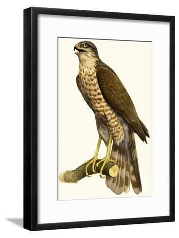 Sparrow Hawk--Framed Art Print