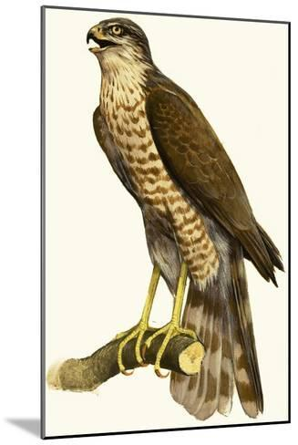 Sparrow Hawk--Mounted Giclee Print