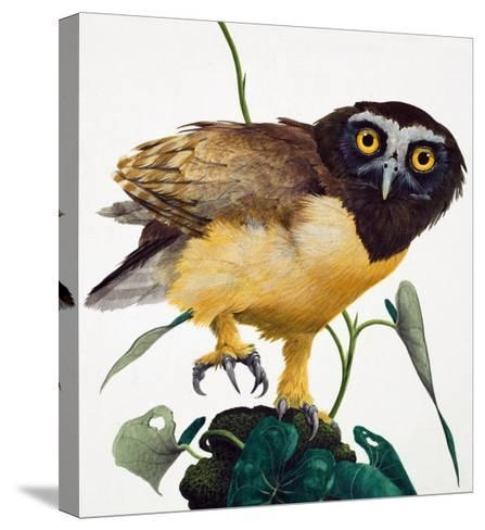 Spectacled Owl-Kenneth Lilly-Stretched Canvas Print