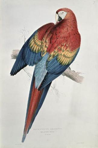 Red and Yellow Macaw-Edward Lear-Stretched Canvas Print