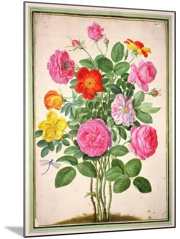 Roses, Plate 4 from the Nassau Florilegium-Johann Jakob Walther-Mounted Giclee Print