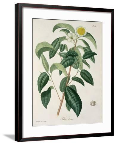 Camellia Thea from Phytographie Medicale by Joseph Roques-L.f.j. Hoquart-Framed Art Print
