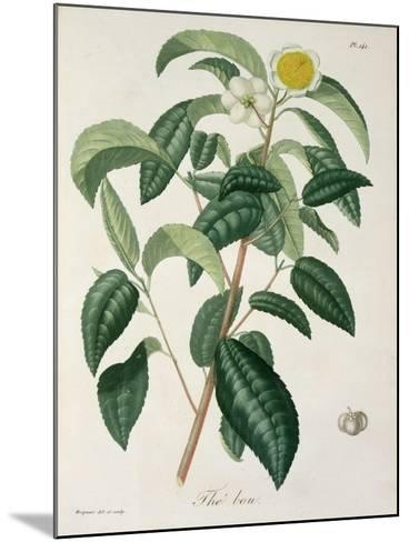Camellia Thea from Phytographie Medicale by Joseph Roques-L.f.j. Hoquart-Mounted Giclee Print