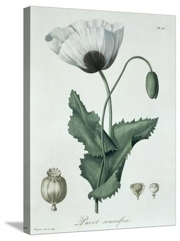 Papaver Somniferum from Phytographie Medicale by Joseph Roques-L.f.j. Hoquart-Stretched Canvas Print