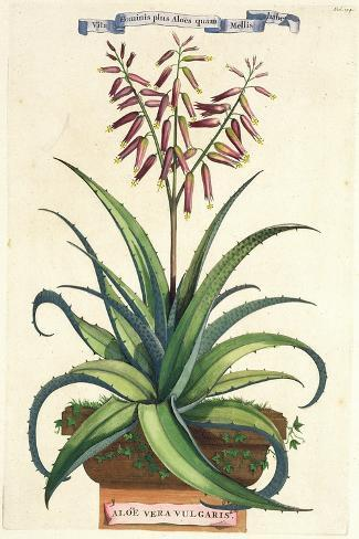 Aloe Vera Vulgaris, from Phytographia Curiosa, Published 1702-Abraham Munting-Stretched Canvas Print