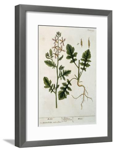 Rocket, Plate 242 from A Curious Herbal, Published 1782-Elizabeth Blackwell-Framed Art Print