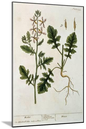 Rocket, Plate 242 from A Curious Herbal, Published 1782-Elizabeth Blackwell-Mounted Giclee Print