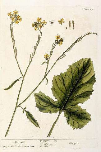Mustard, Plate 446 from A Curious Herbal, Published 1782-Elizabeth Blackwell-Stretched Canvas Print