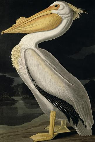American White Pelican, from Birds of America, Engraved by Robert Havell-John James Audubon-Stretched Canvas Print