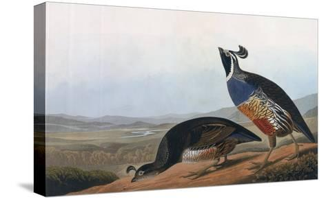 Californian Partridge, from Birds of America, Engraved by Robert Havell-John James Audubon-Stretched Canvas Print