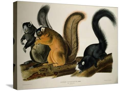 Fox Squirrel, from Quadrupeds of America, 1845-John James Audubon-Stretched Canvas Print
