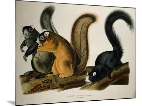 Fox Squirrel, from Quadrupeds of America, 1845-John James Audubon-Mounted Giclee Print