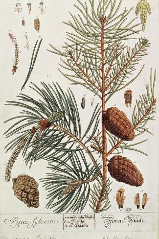 Pine Tree, from A Curious Herbal, Published in Nuremburg in 1757-Elizabeth Blackwell-Stretched Canvas Print