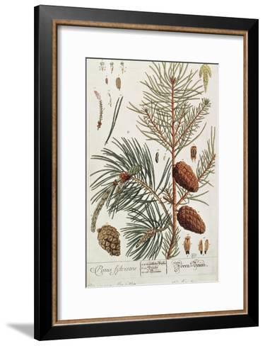Pine Tree, from A Curious Herbal, Published in Nuremburg in 1757-Elizabeth Blackwell-Framed Art Print