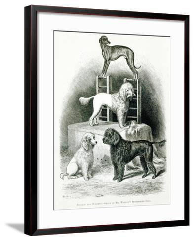 Poodles and Whippet - Group of Mr. Walton's Performing Dogs--Framed Art Print