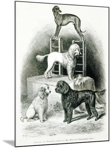 Poodles and Whippet - Group of Mr. Walton's Performing Dogs--Mounted Giclee Print