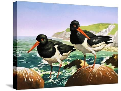 Oystercatchers, Illustration from Once Upon a Time--Stretched Canvas Print