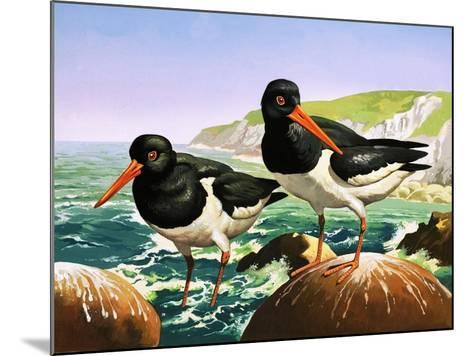 Oystercatchers, Illustration from Once Upon a Time--Mounted Giclee Print