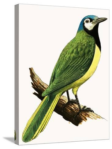 X For Xanthoura Luxuosa or American Jay-R. B. Davis-Stretched Canvas Print