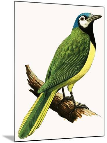 X For Xanthoura Luxuosa or American Jay-R. B. Davis-Mounted Giclee Print