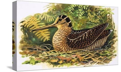 Looking at Nature: The Woodcock-R. B. Davis-Stretched Canvas Print