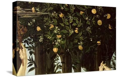 Primavera, Detail of the Orange Tree, c.1478-Sandro Botticelli-Stretched Canvas Print