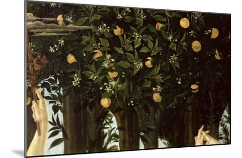 Primavera, Detail of the Orange Tree, c.1478-Sandro Botticelli-Mounted Giclee Print