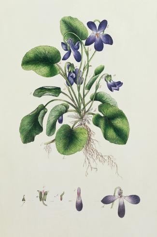 Violets, Page from an Album of Botanical Studies c.1830--Stretched Canvas Print