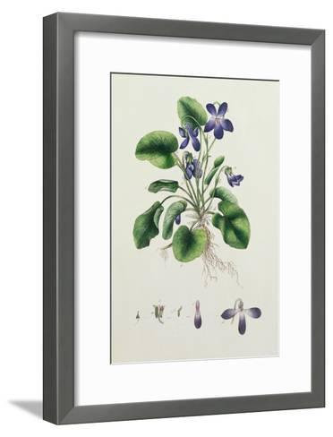 Violets, Page from an Album of Botanical Studies c.1830--Framed Art Print