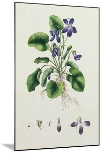Violets, Page from an Album of Botanical Studies c.1830--Mounted Giclee Print
