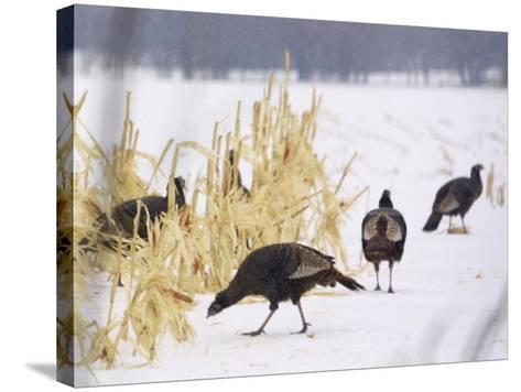 A Flock of Wild Turkey Pick Over a Corn Field in Williston, Vermont, Wednesday, March 5, 2003-Alden Pellett-Stretched Canvas Print
