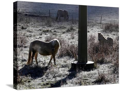 Pferde Im Winterfell Grasen Auf Einer Raureifueberzogenen Weide Am Titisee-Winfried Rothermel-Stretched Canvas Print