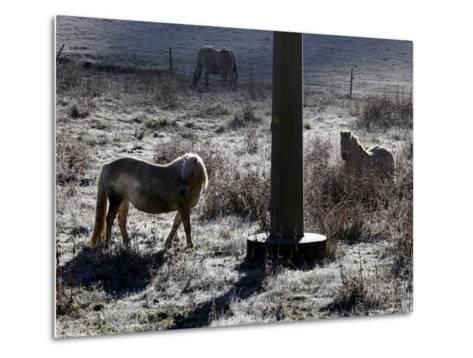 Pferde Im Winterfell Grasen Auf Einer Raureifueberzogenen Weide Am Titisee-Winfried Rothermel-Metal Print