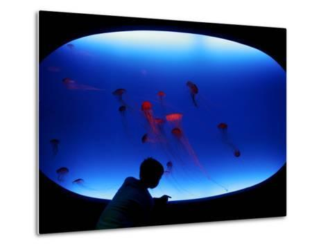 A Visitor Looks at the Jellyfish Called Brown Sea Nettle--Metal Print