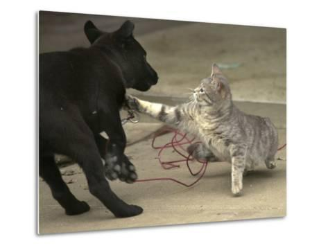 After Being Woken by a Playful Puppy, a Cat Gets its Revenge--Metal Print