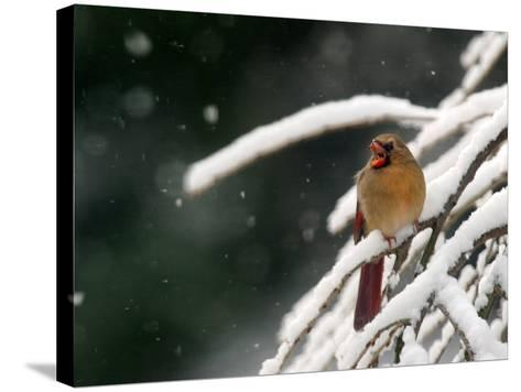 A Cardinal Waits its Turn at a Birdfeeder on a Snow-Covered Tree--Stretched Canvas Print