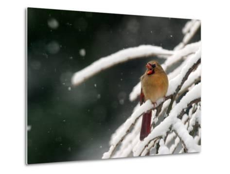 A Cardinal Waits its Turn at a Birdfeeder on a Snow-Covered Tree--Metal Print