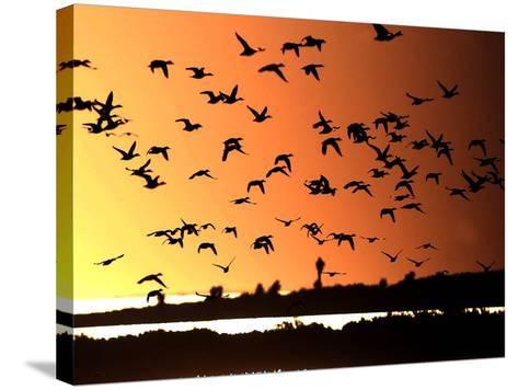 A Flock of Waterfowl--Stretched Canvas Print