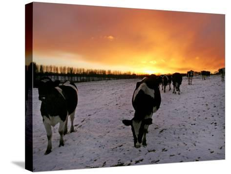 Cows Walk in a Snow Covered Field as Sunset Falls--Stretched Canvas Print
