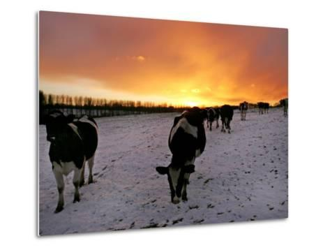 Cows Walk in a Snow Covered Field as Sunset Falls--Metal Print