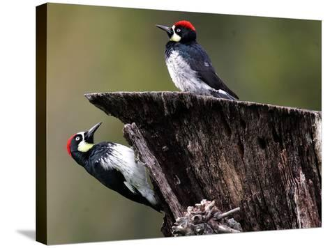 A Pair of Acorn Woodpeckers Find Their Food on a Tree at Rancho San Antonio Park--Stretched Canvas Print