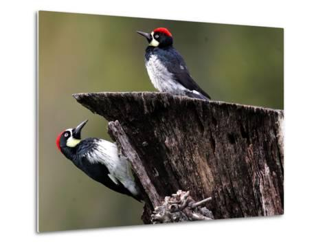 A Pair of Acorn Woodpeckers Find Their Food on a Tree at Rancho San Antonio Park--Metal Print