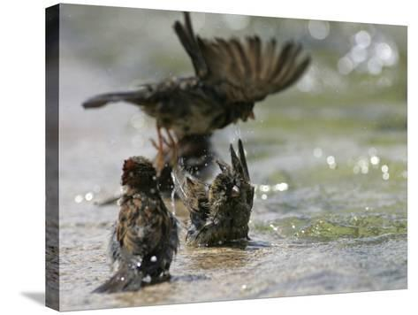 Sparrows Bathe in Puddles at the Moscow Red Square--Stretched Canvas Print