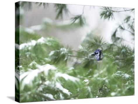 A Bluejay Peeks out from Snowy Pine Branches--Stretched Canvas Print