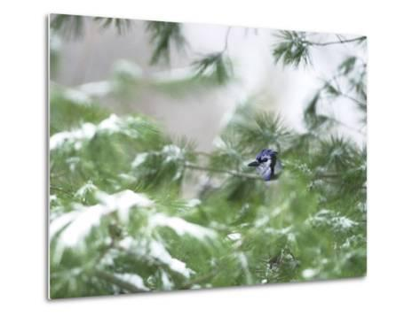 A Bluejay Peeks out from Snowy Pine Branches--Metal Print