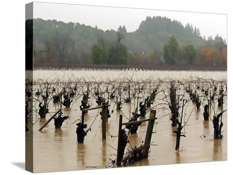 A Russian River Vineyard Remains Flooded Near Forestville, Calif.--Stretched Canvas Print